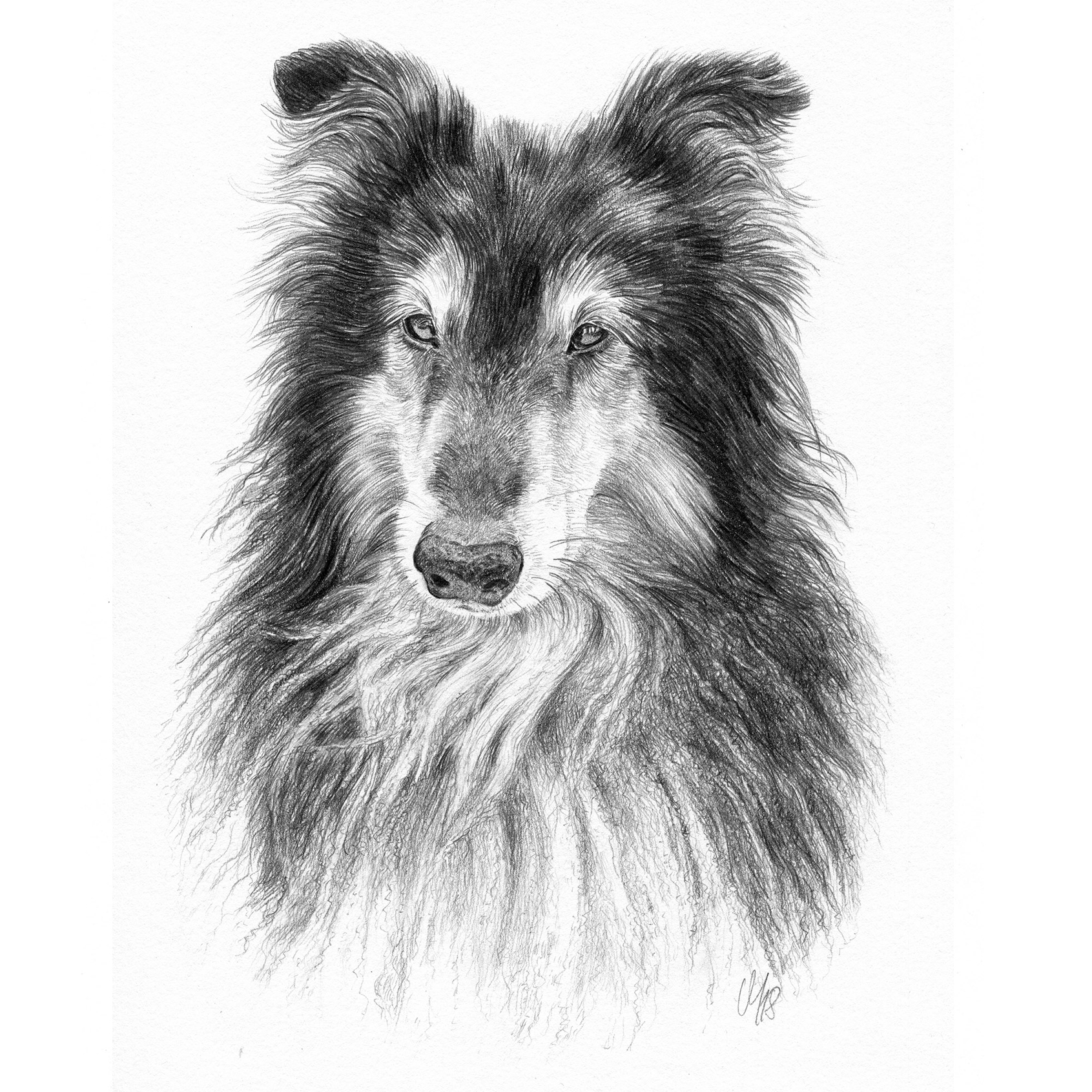 Hundeportrait Collie