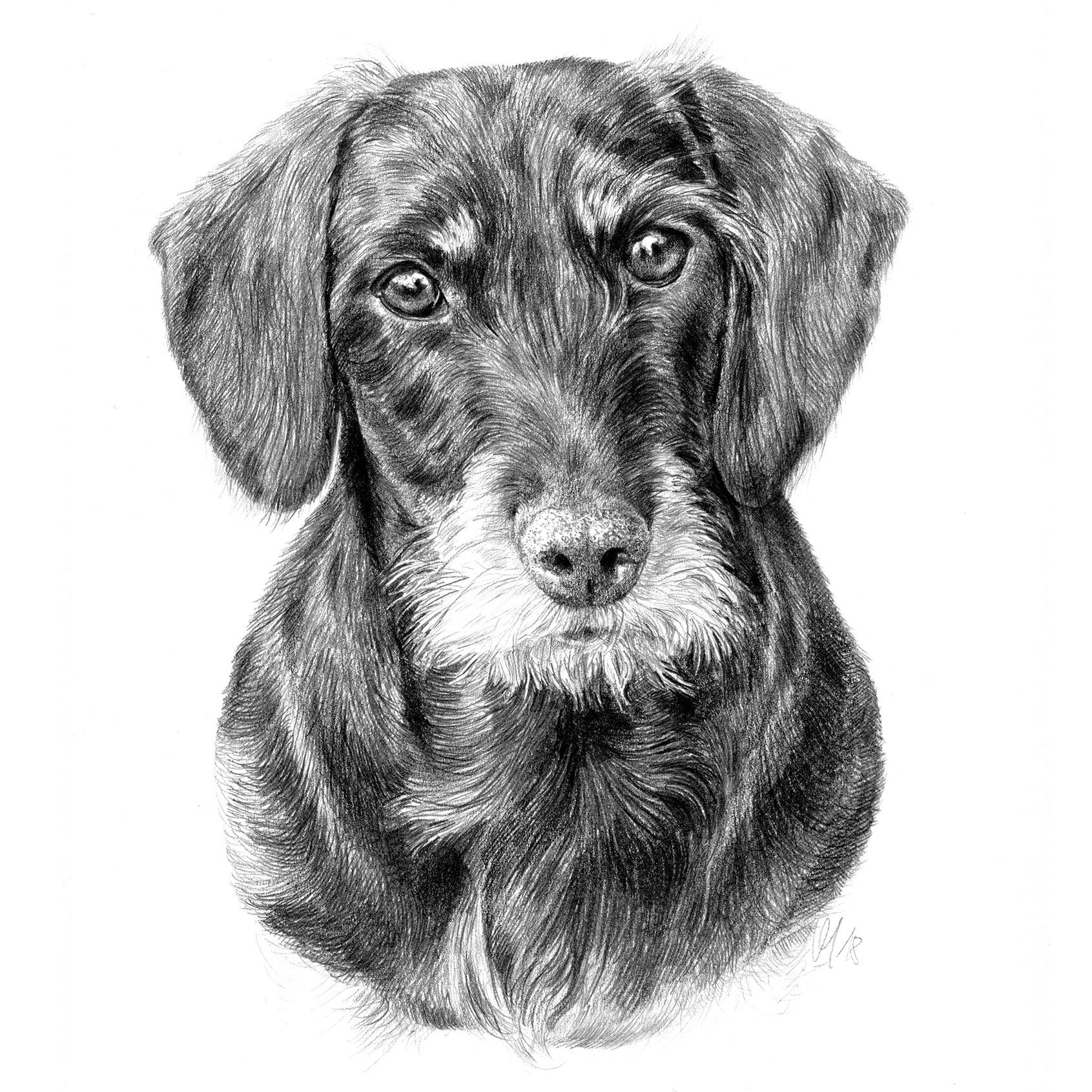 Hundeportrait Rauhhaardackel