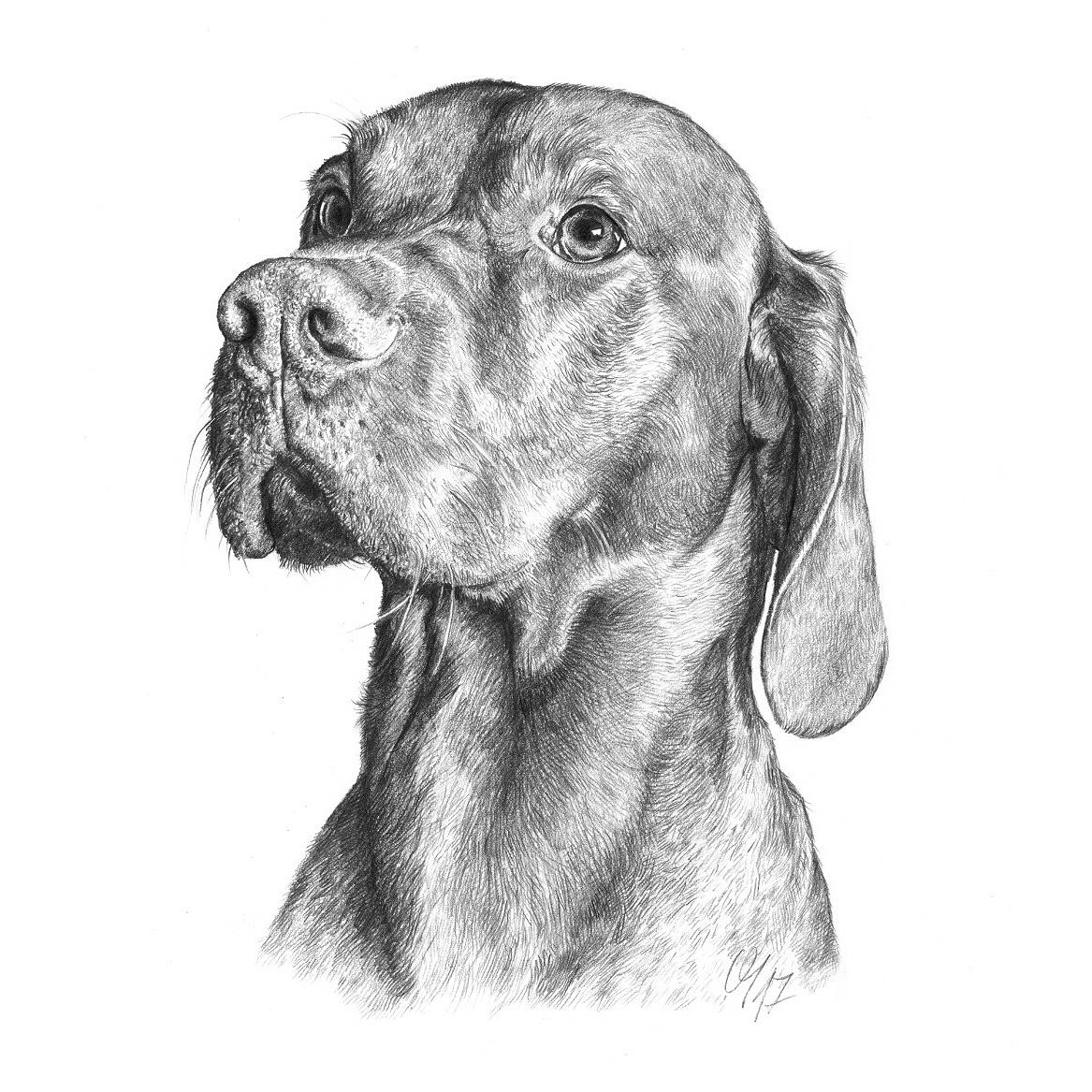 Hundeportrait Magyar Vizsla, ungarischer Vorstehhund