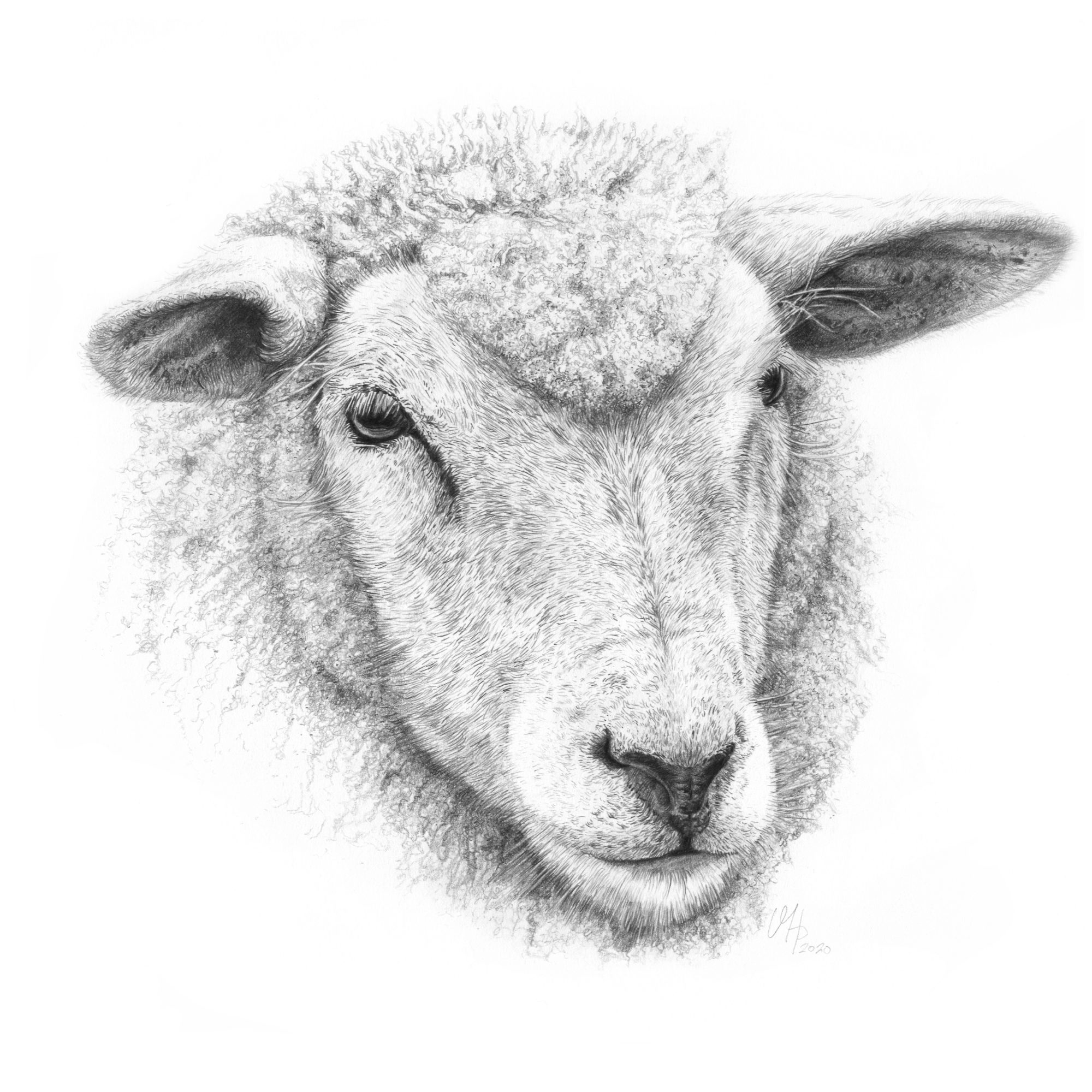 Tierportrait Schaf aus Eiderstedt