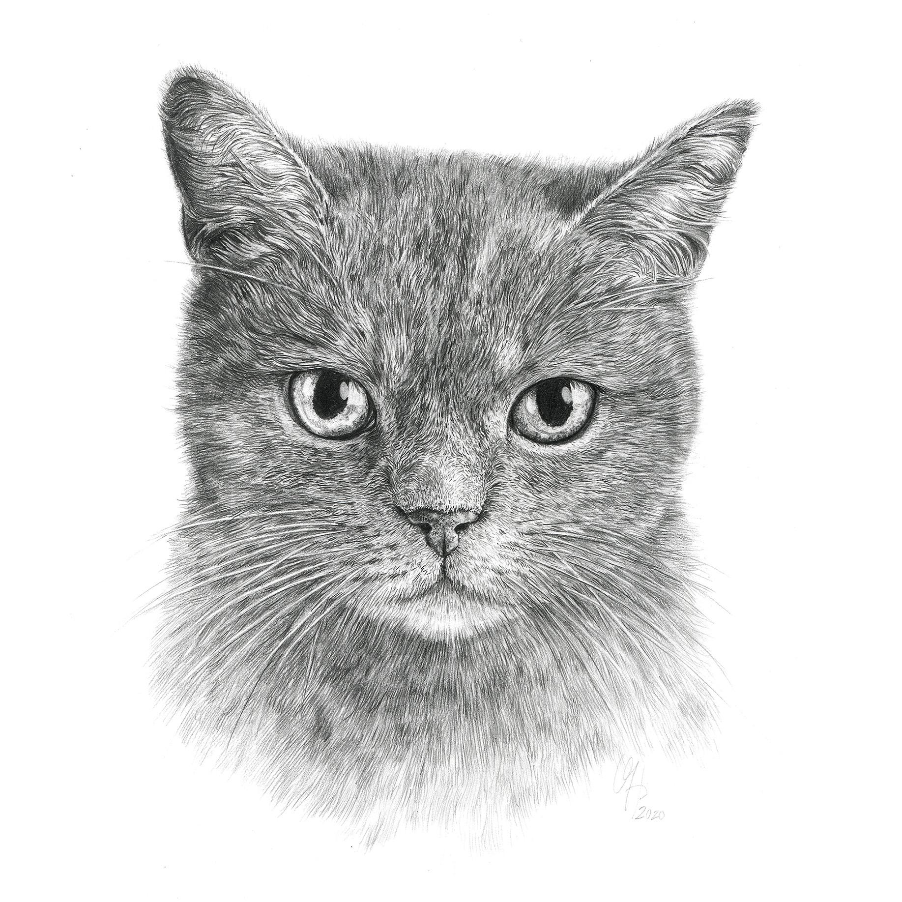 Katzenportrait Britische Kurzhaar Katze