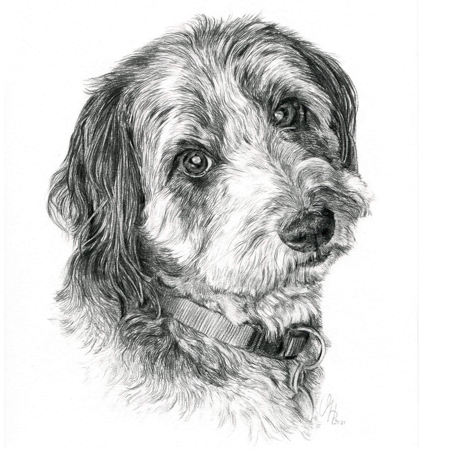 Hundeportrait Labradoodle