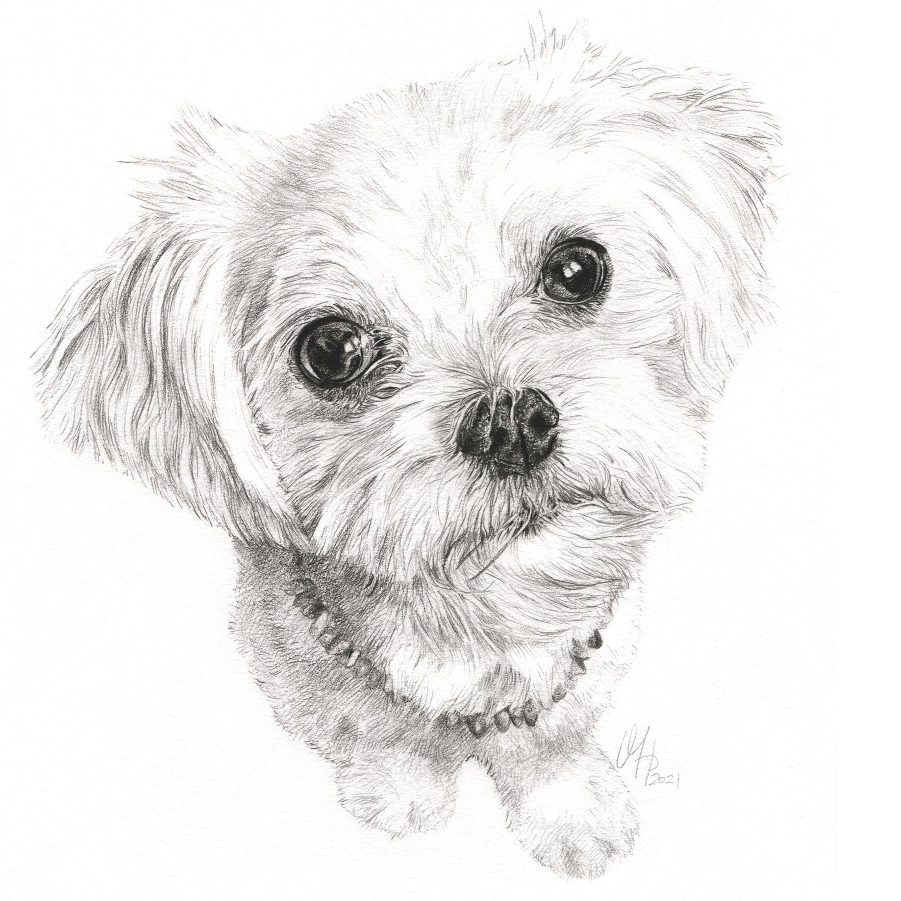 Hundeportrait Malteser