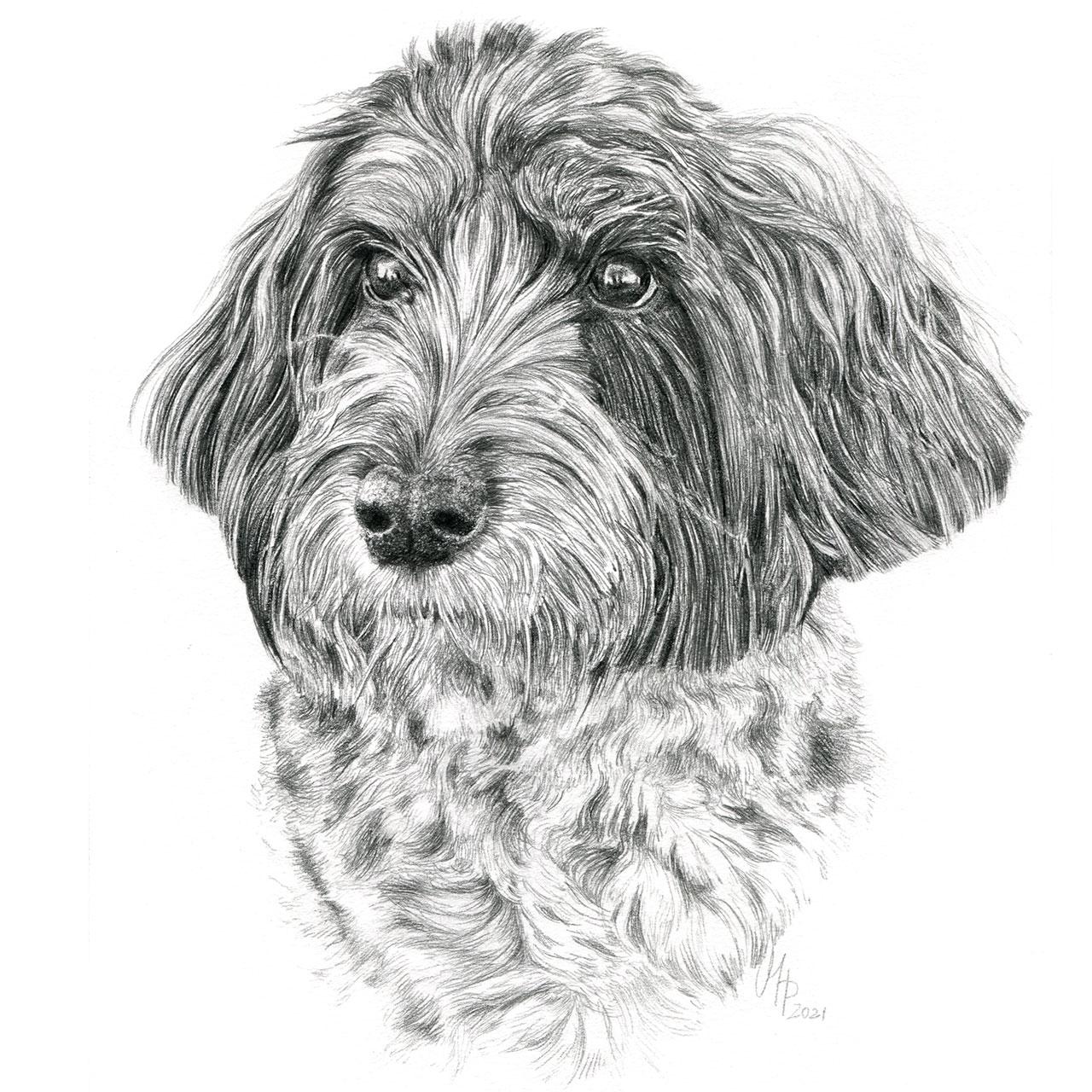 Hundeportrait Aussiedoodle