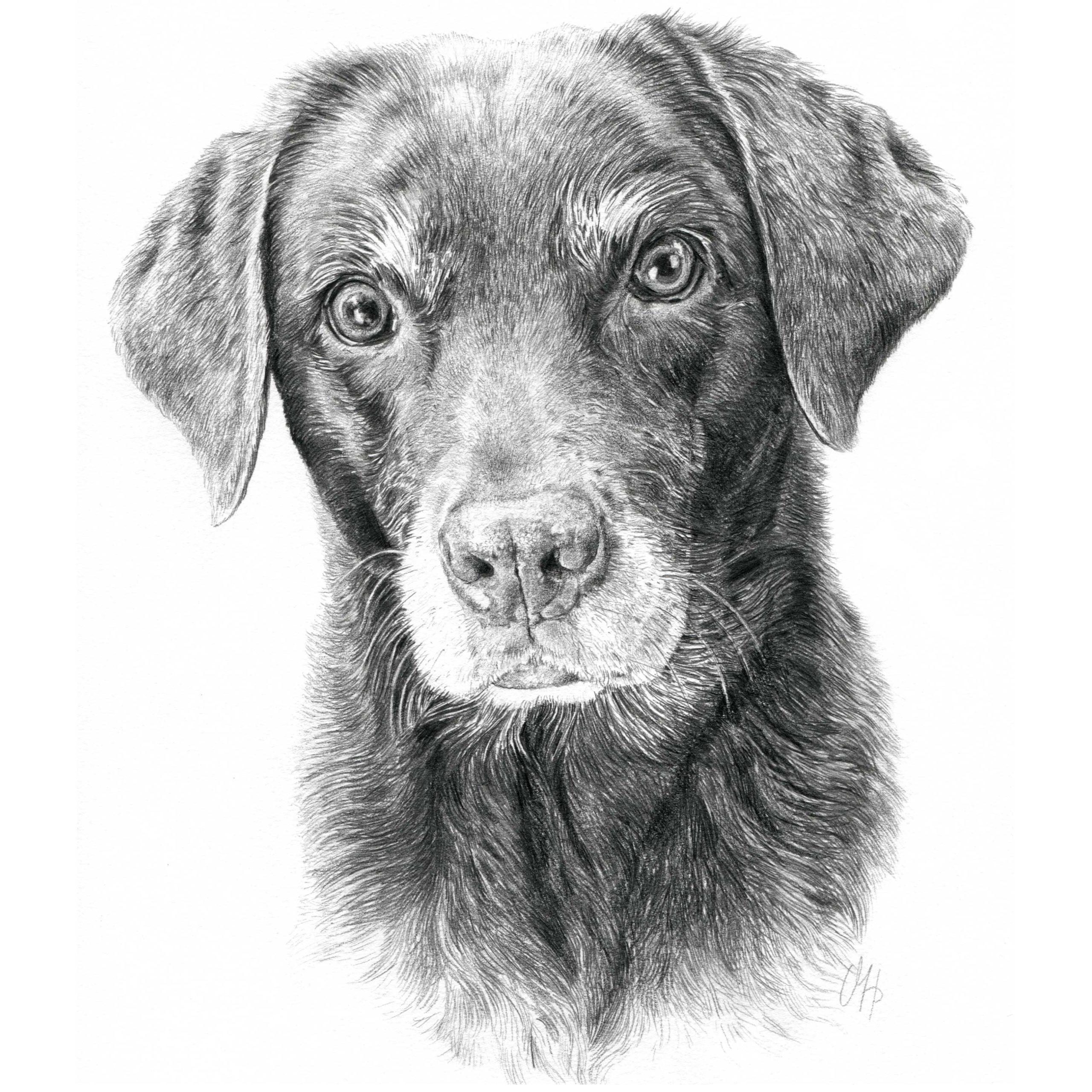 Hundeportrait Labrador Hündin